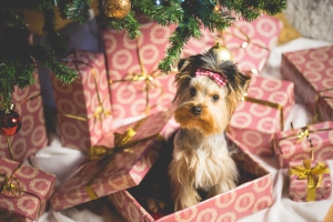cute-puppy-as-a-christmas-present-surprise-picjumbo-com